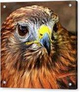 Red-tailed Hawk Portrait Acrylic Print