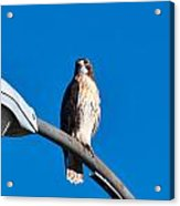 Red-tailed Hawk Surveying Territory Acrylic Print
