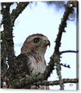 Red-tailed Hawk - Young And The Old Acrylic Print