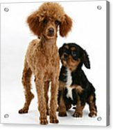 Red Toy Poodle And Cavalier King Acrylic Print