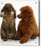 Red Toy Poodle Pup With A Lionhead Acrylic Print