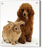 Red Toy Poodle Pup With Lionhead-cross Acrylic Print