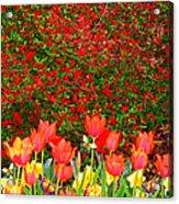 Red Tulip Flowers Acrylic Print