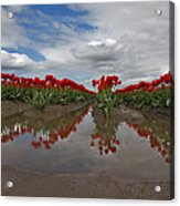 Red Tulip Reflections Acrylic Print