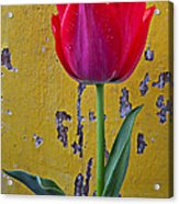 Red Tulip With Yellow Wall Acrylic Print