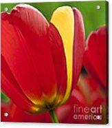 Red Tulips 1 Acrylic Print