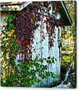 Red Vine Shed Acrylic Print