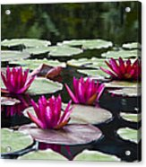 Red Water Lillies Acrylic Print