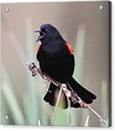 Red-winged Blackbird - Are You Listening Acrylic Print