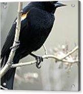 Red-winged Blackbird Agelaius Acrylic Print