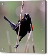 Red-winged Blackbird - Can You Hear Me Now Acrylic Print
