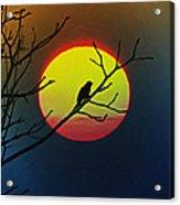 Red Winged Blackbird In The Sun Acrylic Print