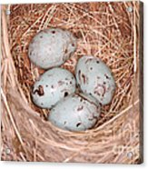 Red-winged Blackbird Nest Acrylic Print