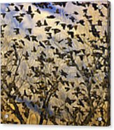 Red-winged Blackbirds At Sunset Acrylic Print
