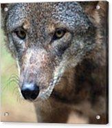 Red Wolf Closeup Acrylic Print