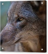 Red Wolf Stare Acrylic Print
