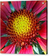 Red Yellow Flower Acrylic Print