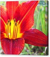 Red Yellow Lily Acrylic Print