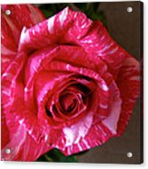 Red Zebra Rose  Acrylic Print