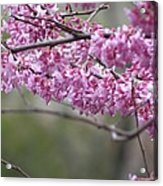 Redbud Tree In Spring Acrylic Print