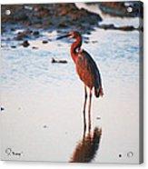 Reddish Egret Basking In The Sunset Acrylic Print