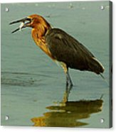 Reddish Egret Caught A Fish Acrylic Print