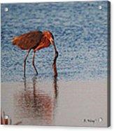 Reddish Egret Checking It Out Acrylic Print