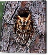 Reddish Screech Owl Acrylic Print