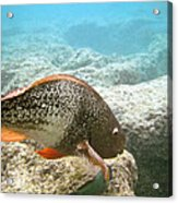 Redlip Parrotfish Acrylic Print