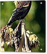 Redwinged Blackbird II Acrylic Print