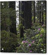 Redwoods 3 Acrylic Print