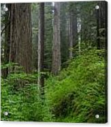 Redwoods Along Ossagon Trail Acrylic Print