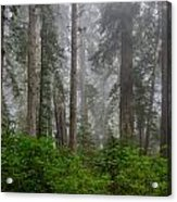 Redwoods In Breaking Mists Acrylic Print