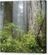Redwoods In May Acrylic Print