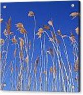 Reed Grass Acrylic Print
