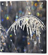 Reed With Frost And And Color Acrylic Print