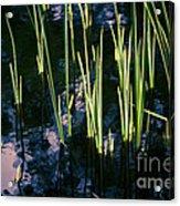 Reeds At Sunset Acrylic Print