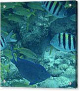 Reef Fish Acrylic Print