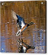 Reflecting Duck Acrylic Print