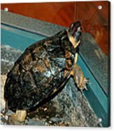 Reflecting Turtle Acrylic Print