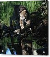 Reflection Of Lynx In Stream Idaho, Usa Acrylic Print