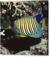 Regal Angelfish In Coral Reef Acrylic Print