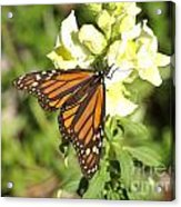 Monarch Butterfly Feeding On A Cluster Of Yellow Flowers Acrylic Print