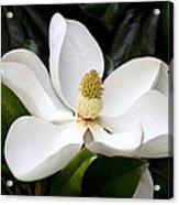 Regal Southern Magnolia Blossom Acrylic Print