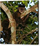 Relaxed - Brown Capuchin Acrylic Print