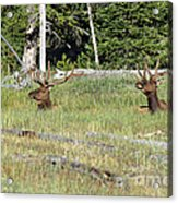 Relaxed Elk Acrylic Print
