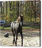 Reserve Champion Filly  Acrylic Print