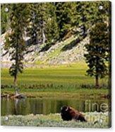 Resting Buffalo By Pond Acrylic Print