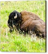 Resting Buffalo Acrylic Print