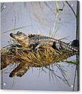 Resting Gator Acrylic Print